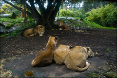 Auckland Zoo - Lions