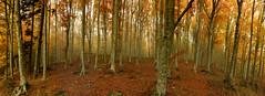 Il mio Autunno !! (Gio Martinello) Tags: autumn colour tree nature alberi canon toscana autunno colori canon2470 passodellacalla
