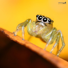 Another Cute Being (Sir Mart Outdoorgraphy) Tags: macro nature landscape photographer outdoor jumper jumpingspider outing natureatitsbest salticid naturelovers salticidae photoouting sungaisedim sedim jurugambar penangflickr sirmart outdoorgraphy penangflickrgroup kelabfotografi phtographygroup kelabfotopulaupinang rekreasisedim rekreasiarusderassedim sedimwhitewaterrapids treetopwalksedim sedimtreetopwalk supersedimouting