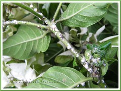 Eeek... mealy bugs on our White Mussaenda tree!