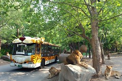 에버랜드 사파리월드 (에버랜드 (withEverland)) Tags: animal korea everland 에버랜드 사파리 동물원 용인 사자 사파리월드 불곰