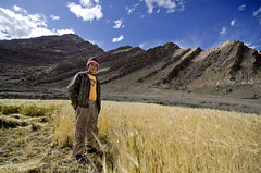 Harvest. (Prabhu B Doss) Tags: india barley nikon harvest fields leh himalayas ladakh hemis travelphotography jammuandkashmir 2011 bikeexpedition incredibleindia prabhub prabhubdoss d7000 zerommphotography 0mmphotography