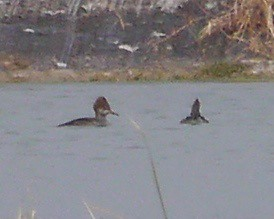Hooded Mergansers - 3