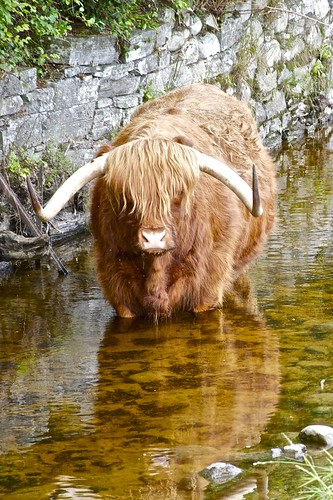 Kyloe (highland bull)