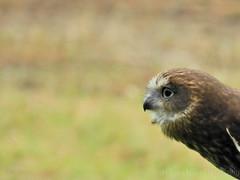 Barking Owl Profile (H. Evan Miller) Tags: bird animal nikon australia ellie owl southaustralia kangarooisland p500 barkingowl hevanmiller raptordomain