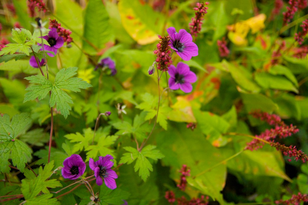 geranium ann folkard and persicaria golden arrow  965