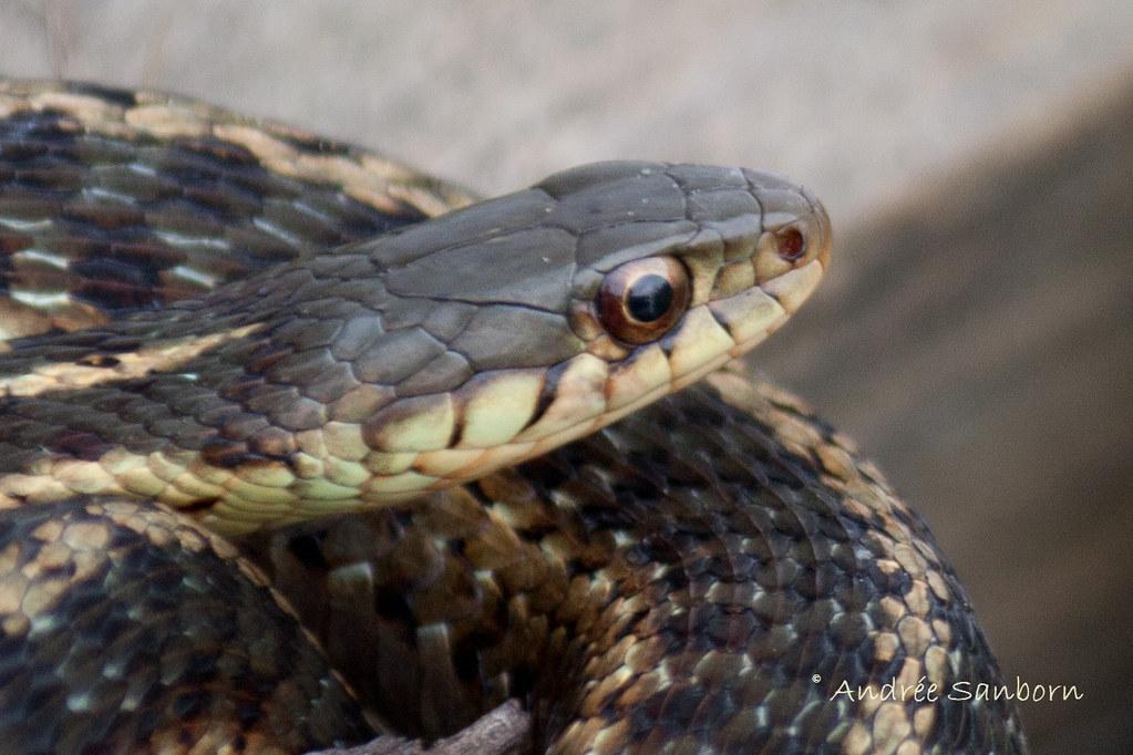 Common Garter Snake-6.jpg