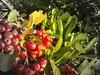 frutos rojos macro (juanpablo.santosrodriguez) Tags: autumn red wallpaper verde green fall yellow hojas rojo amarillo otoño grayscale leafs fondodeescritorio escaladegrises