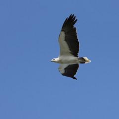 White-bellied Sea-Eagle (boombana) Tags: eagle sydney australia nsw wattamolla royalnationalpark australianbirds seaeagle haliaeetus 2011 whitebelliedseaeagle haliaeetusleucogaster