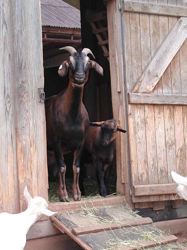 Kastanienhof Selz - Ziegen