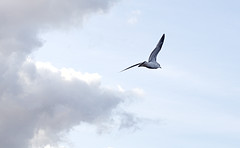 Riding the winds (1) (krissen) Tags: bird nature birds flying wind seagull air natur luft vind fglar fgel ms flyga fotosondag fs120325