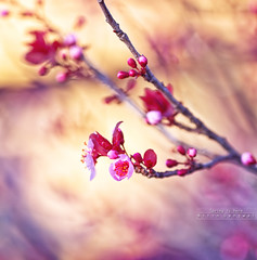 Spring is here.. (whoisnd) Tags: lighting pink light blur flower tree colors leaves canon march spring warm branch bokeh 100mm petal buds pollen nitin springishere 100l 1div flickraward nitindangwal flickrawardgallery