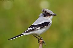 STOP RIFLE HUNTING -    (arfromqatar) Tags: qatar birdsofqatar  arfromqatar  abdulrahmanalkhulaifi
