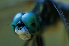 Dragonfly Close-up (Zoom Lens) Tags: autumn summer macro nature beautiful beauty closeup insect fly wings nikon dragonflies dragonfly flight wing fast happiness insects micro strength activity predator winged flier courage johnrussell odonata anisoptera purewater swiftness eyepoker epiprocta winnr earcutter akazoomlens copyrightbyjohnrussellallrightsreserved eyesnatcher johnrussellakazoomlens multiwinged highlymaneuverable devilsdarningneedle copyrightbyjohnrussellallrightsreserved