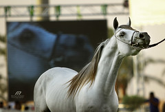 Arabian Horse .. (Meshari Al-dosari .. ) Tags: horse canon photography eos photo 7d arabian