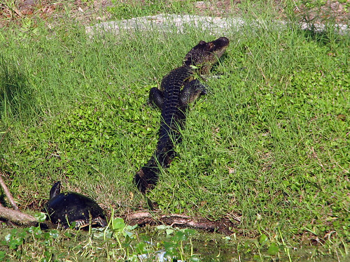 American Alligator with turtle