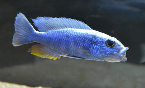 Sciaenochromis fryeri Cape Kaiser