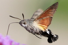"close-up ""Macroglossum stellatarum"" - kolibrievlinder (bugman11) Tags: macro nature animal animals fauna canon butterfly bug insect niceshot nederland thenetherlands butterflies insects bugs 1001nights soe hummingbirdmoth wow1 wow2 wow3 macroglossumstellatarum greatphotographers physis kolibrievlinder butterfliesinflight flickraward concordians platinumheartaward doubleniceshot 100mm28lmacro tripleniceshot 1001nightsmagiccity flickraward5 mygearandme mygearandmepremium mygearandmebronze mygearandmesilver mygearandmegold mygearandmeplatinum mygearandmediamond onlythebestofnature ringexcellence flickrhivemindgroup odetojoyodealegria artistoftheyearlevel2 musictomyeyeslevel1 allofnatureswildlifelevel1 allofnatureswildlifelevel2 allofnatureswildlifelevel3 allofnatureswildlifelevel4 highqualityanimals allofnatureswildlifelevel5 allofnatureswildlifelevel8 allofnatureswildlifelevel6 allofnatureswildlifelevel7 allofnatureswildlifelevel9 allofnatureswildlifelevel10 me2youphotographylevel1 unlimitedinsectslevel1 unlimitedinsectslevel2 unlimitedinsectslevel3 unlimitedinsectslevel4 unlimitedinsectslevel5 unlimitedinsectslevel6 unlimitedinsectslevel7 unlimitedinsectslevel8gold vigilantphotographersunite vpu2 vpu3 vpu4 vpu5 vpu6"
