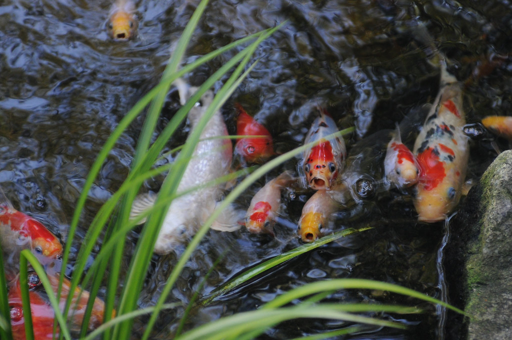 Hungry Fishies in the Pond