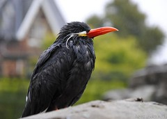 Inca Tern (Gareth Brooks) Tags: bird wet bristolzoo wetbird colourfulbird colorfulbird