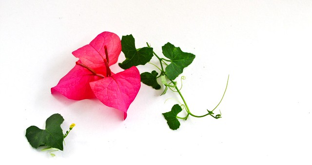 IMG_1599 Red Bougainvillea