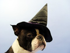 "Oct 14 2011 [Day 348] ""Dan The Suave Warlock"" (James_Seattle) Tags: dog dan boston bostonterrier october sony cybershot 365 suave warlock k9 year1 dscf717 2011 sonycybershotdscf717 jamesseattle"