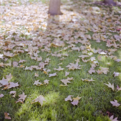 (Tuan__) Tags: color colour tree fall 120 6x6 film grass leaves mediumformat season colours hasselblad portra160vc selfdeveloped carlzeiss hasselblad500cm selfdevelopment 80mmf28 canoscan8800f gettyimageswants