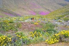Valle del Huasco (8) (Francisco_Contreras) Tags: del de valle atacama desierto desde florido huasco