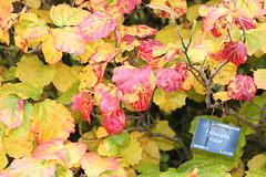 Fothergila major  in  Autumn (ianharrywebb) Tags: flowers autumn royalbotanicgarden iansdigitalphotos yahoo:yourpictures=autumn fothergilamajor yahoo:yourpictures=nature