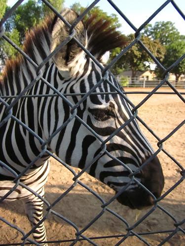 Zebras 0058_2