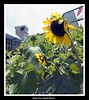 Head Down (Top End Shooter) Tags: singapore sunflower singaporechangiairport greatoutdoors singaporeairport changiairportsunflowergarden changiterminal3 changiterminalthree
