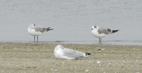 Franklin's Gulls and RB
