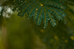 nikkor f1.2 (mr_i) Tags: old green love nature 50mm leaf nikon bokeh harmony malaysia nikkor kuantan d90 flowerofislam