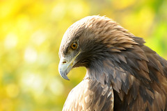 The Golden One (affinity579) Tags: autumn wild bird fall nature colors closeup golden nikon quebec wildlife profile goldeneagle ecomuseum coth specanimal d700