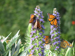 Monarchs at Ragged Point (emdot) Tags: butterfly bigsur monarch
