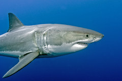 GWS3Oct26-11 (divindk) Tags: shark diving greatwhiteshark cagediving guadalupeisland diverdoug