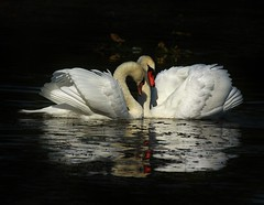 Caress (jannagal) Tags: white black reflection bird love nature water canon swan michigan feathers caress muteswan cygnusolor stonycreekmetropark anthropromorphism mygearandme mygearandmepremium mygearandmebronze mygearandmesilver mygearandmegold mygearandmeplatinum mygearandmediamond jannagal