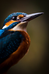 King Fisher  Ijsvogel ARTIST IMPRESSION 1/2 (ronald groenendijk) Tags: poster artist kingfisher impression alcedo ijsvogel atthis artistimpression