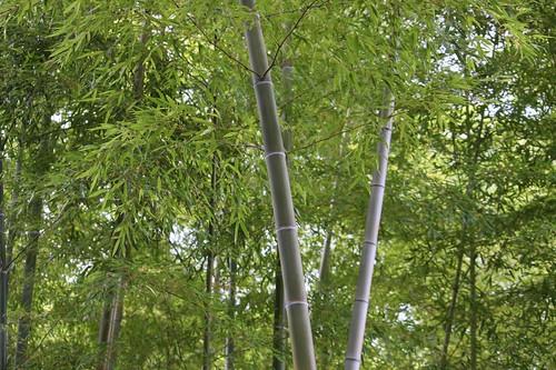 竹の息吹 / Breath of the bamboo