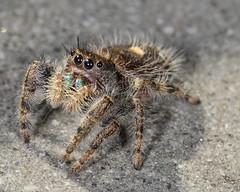 _DSC8313 (sara97) Tags: nature closeup spider arachnid missouri saintlouis predator carnivorous jumpingspider 8legs salticidae hemolymph photobysaraannefinke copyright2011saraannefinke