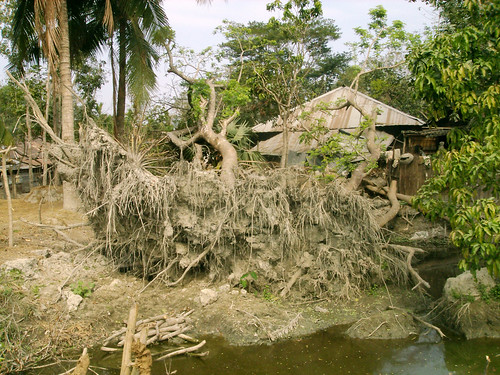 Pond dyke damaged by tidal surge and fallen trees, Bangladesh. Photo by WorldFish, 2002