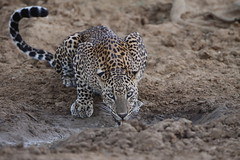 Leopard at Dignawela (Milinda De Silva) Tags: flickrbigcats