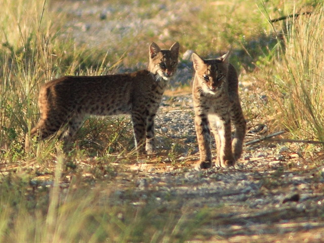 Bobcat cub and adult 5-20111103