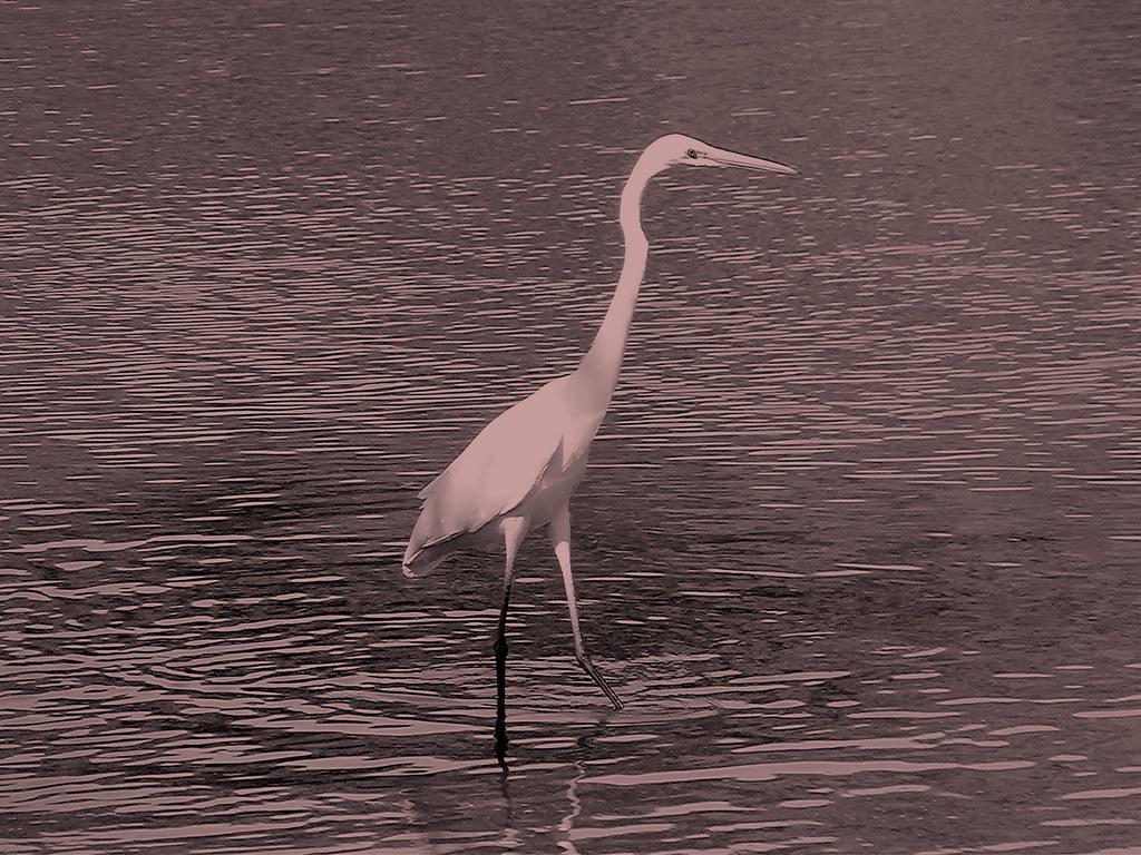 29-10-2011-great-egret