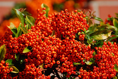 Firethorn, Wearing Its Autumn Dress.... (Wire_cat) Tags: autumn berries pyracantha firethorn foodforbirds orangeyred orangeberries autumnul nikond40 wirecat nikonafs70300mmvr