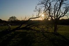 fallen tree (GaryDavidson) Tags: uk trees england sky sun tree nature silhouette sheep sony lancashire rivington alpha 450 a450 sonya450