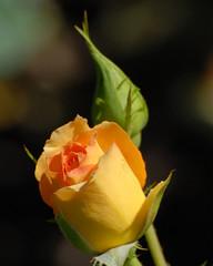 DSC_0335 (cfotos4fun-Russell) Tags: flowers roses ny newyork flower rose gardens garden centralpark rosegarden publicgardens rosegardens flowergardens cfotos4fun centralparkrosegarden