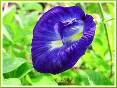 Clitoria ternatea (Butterfly Pea, Blue Pea Vine, Asian Pigeonwings) with deep blue single flower