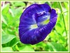 Clitoria ternatea (Butterfly Pea, Blue Pea Vine, Asian Pigeonwings, Bunga Telang/Biru in Malay)