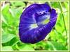 Clitoria ternatea (Butterfly Pea, Blue Pea Vine, Asian Pigeonwings, Bunga Telang/Biru in Malay)